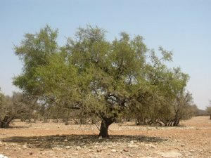 argan-tree